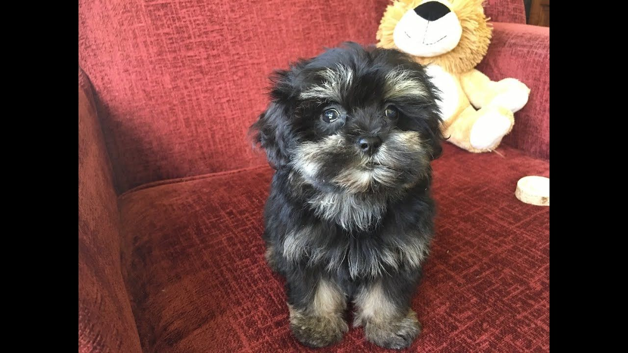 Shihpoo Or Shih Tzu Poodle Pups For Sale In Ocala Florida Youtube Chien Caniche Caniche Chien
