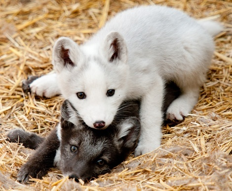 look arctic fox puppies