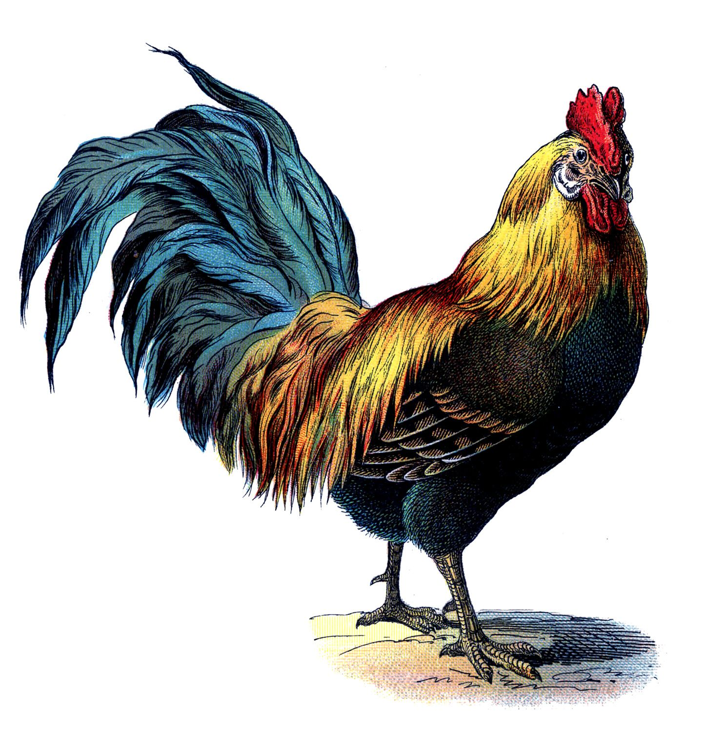 Vintage Graphic - Gorgeous Colorful Rooster | Antigua, Graphics ...