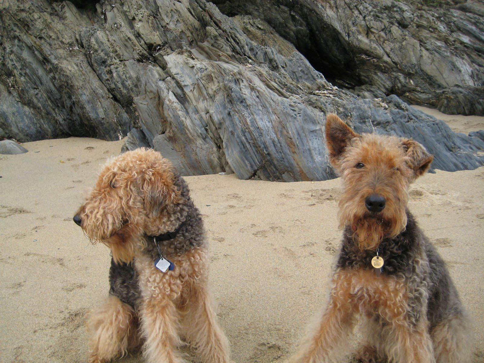 Airedale Terriers on the beach | Airedales | Airedale ...