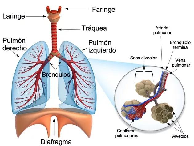 El Sistema Respiratorio Qué Es Cómo Funciona Sistema Respiratorio Aparato Respiratorio Alveolos Pulmonares