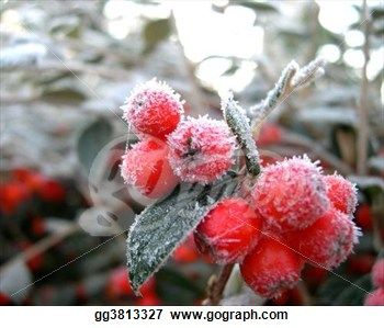 """winter berry"" - Winter Stock Photo from Gograph.com"
