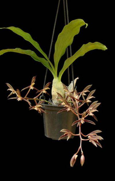 Catasetum boyi