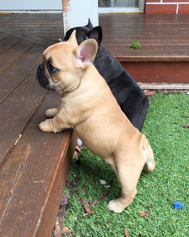 Little potatoes! Follow mycutestfrenchie for more Tell