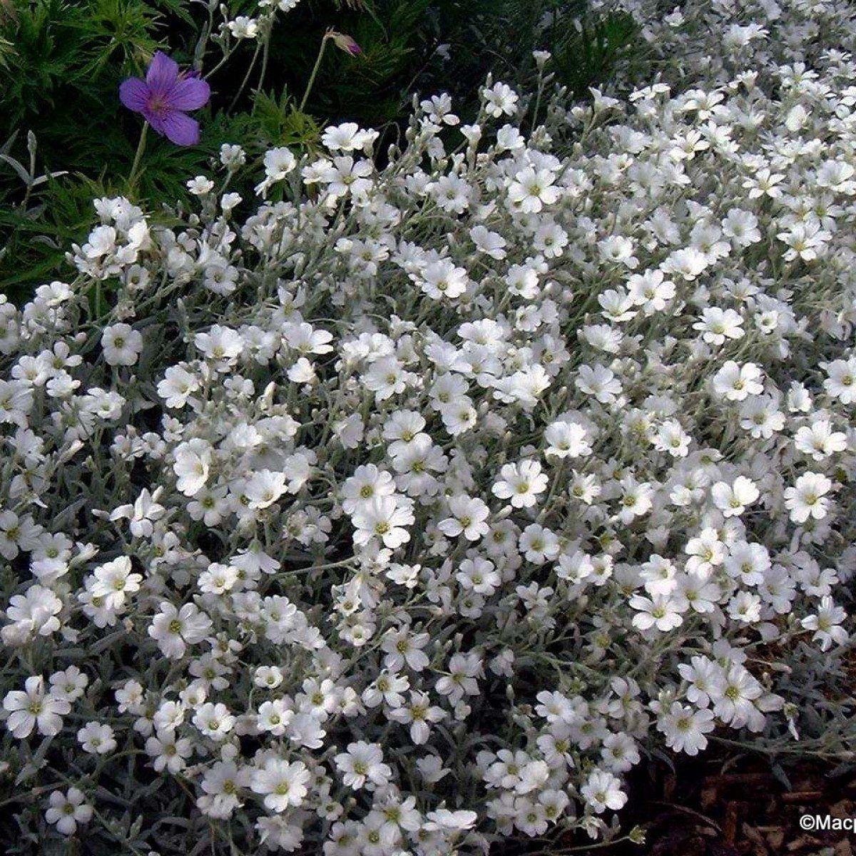 Cerastium tomentosum var. columnae Oreille de souris