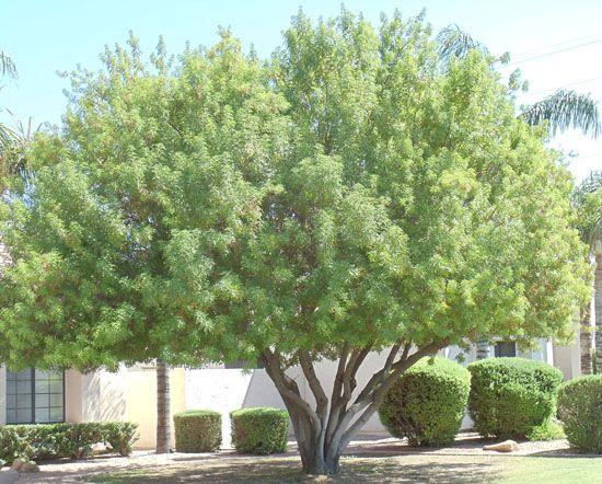 Tree Nursery Trees For Sale Mesa Gilbert Queen Creek A P Shade Trees Pepper Tree Tree Nursery