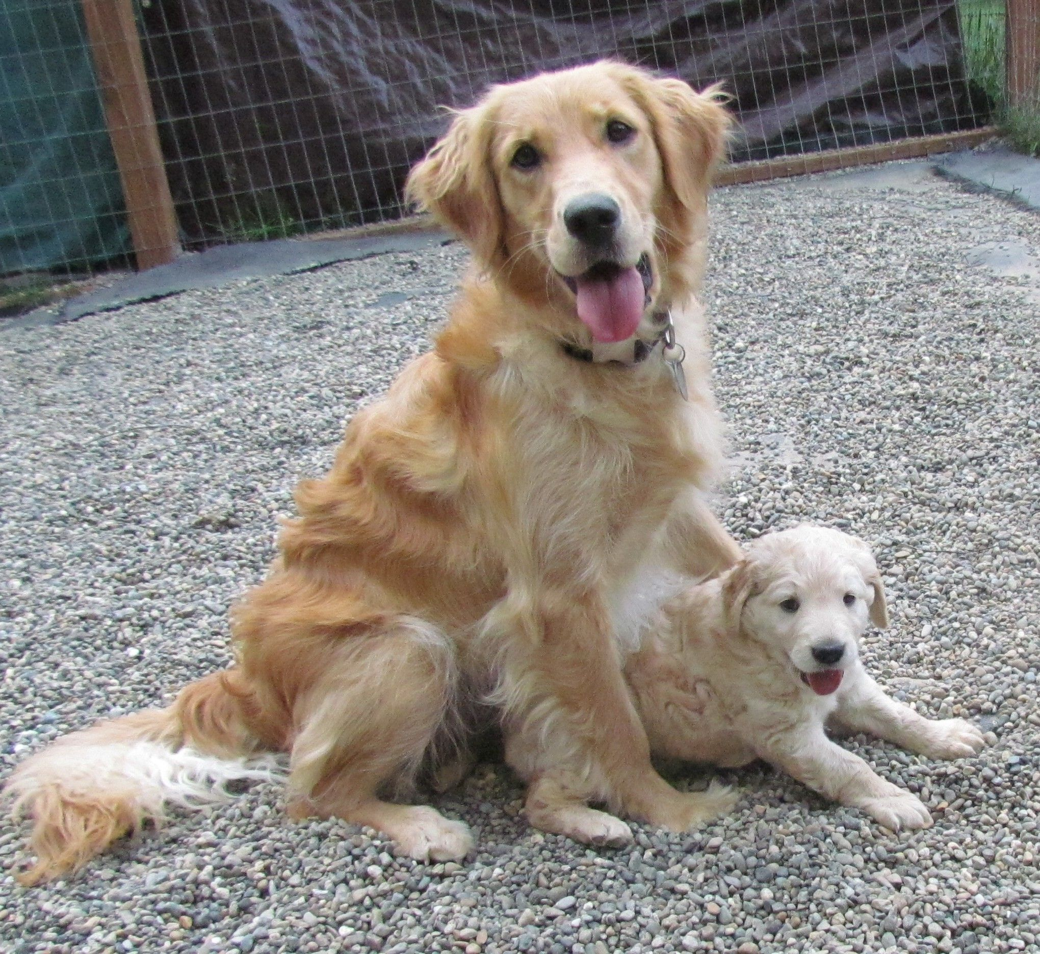 Petite Golden Retriever With Her Puppy Comfort Retriever Golden Retriever Puppies