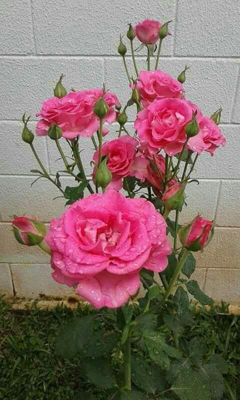 Pin De Salvador Gonzalez En Rosa Belleza Infinita Pinterest
