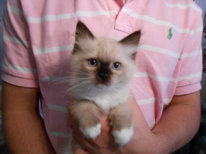 Vanillabelle Ragdolls New York Ragdoll Kittens For Sale Ny Ragdoll Kitten Kitten For Sale Beautiful Kittens