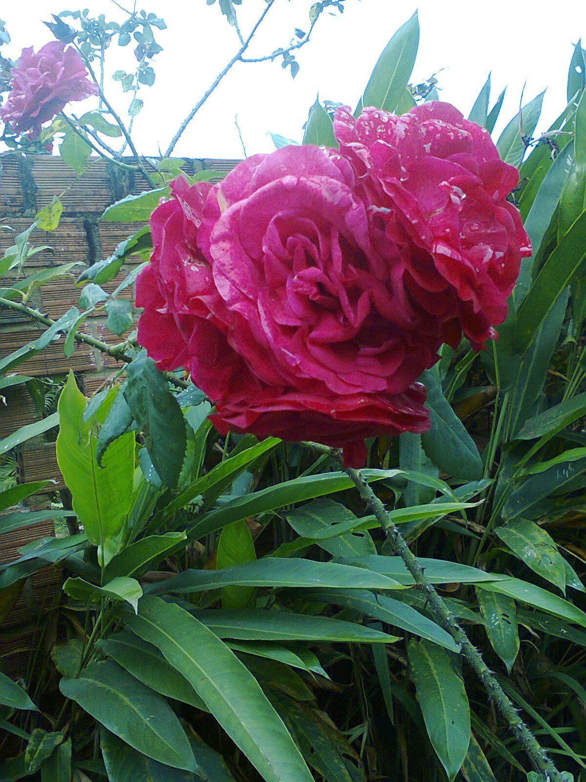 rosas cacho vermelha