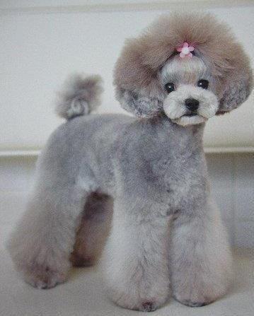 Japanese Dog Grooming Style Toy Poodle Idog Pinterest