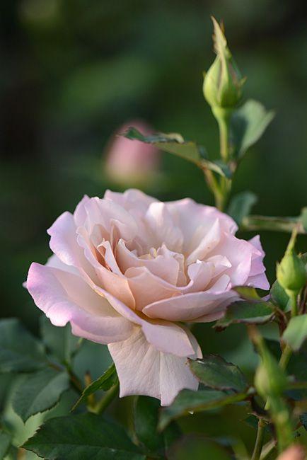 Rosa 'Saudade