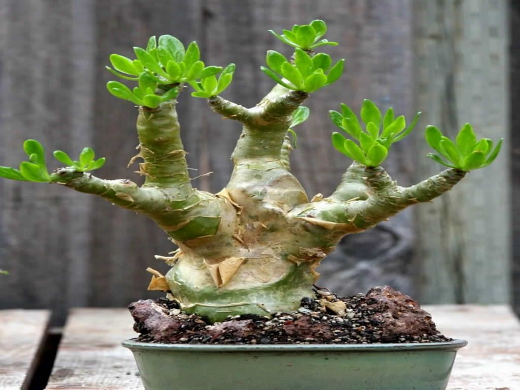 Tylecodon Paniculatus Butter Tree World Of Succulents Indoor Bonsai Tree Bonsai Tree Types Succulent Landscaping