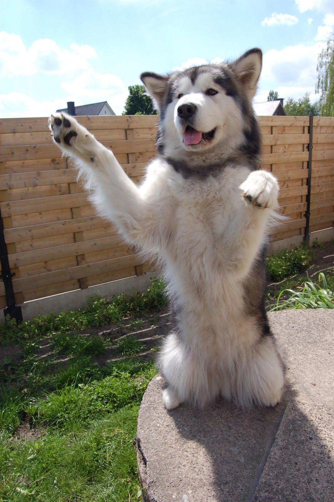 My Gorgeous Malamute American Dog Alaskan Malamute Malamute Dog