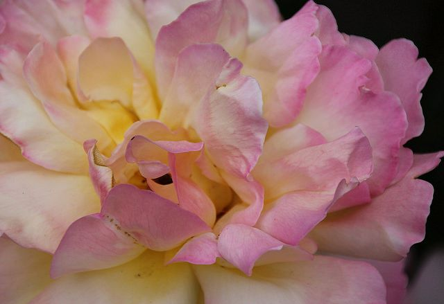magicalnaturetour:alice44:Rose on Flickr. My favorite flower. Lovely! :-)