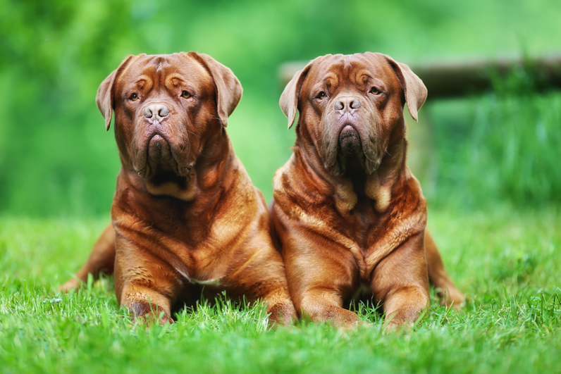 These Dog Breeds Live Tragically Short Lives Worlds Largest Dog