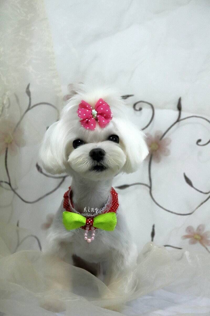 Doggybeauty Asian Pet Styles Work Done By Paw Palace Of Hong