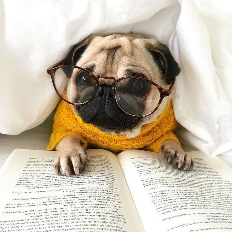 Pug Dog With Reading Glasses Dog Pug Baby Pugs Cute Pugs
