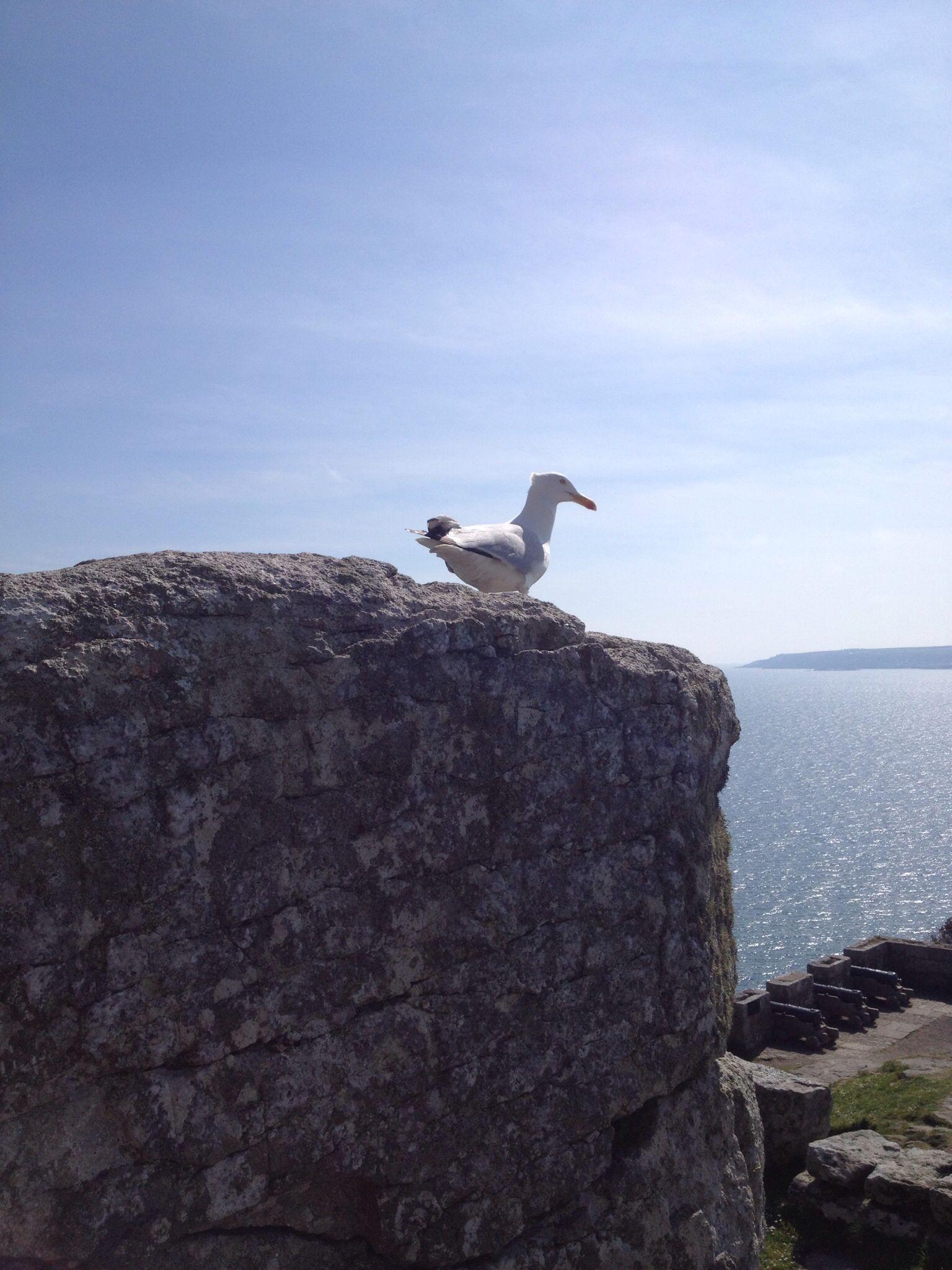 The lone seagull. St. Michael's Mount, Marazion, Cornwall