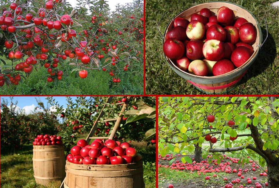 A Collection Of Apple Orchards Falling For Fall
