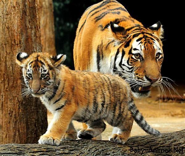 Baby animals 2# #babytiger  #cutetiger  #littletiger  #sweettiger  #tiger  #tigerphoto #babytigerimages  #babyanimals  #cuteanimals  #littleanimals  #sweetanimals