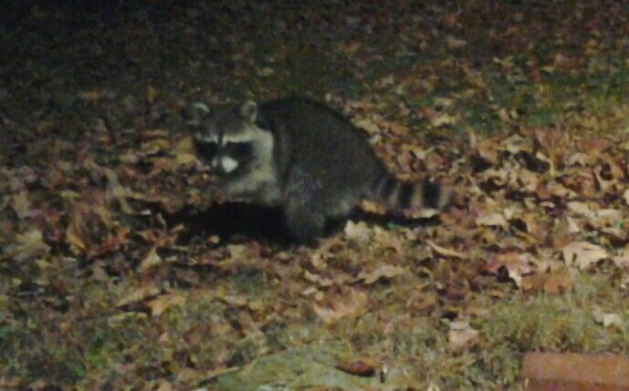 Raccoon In My Backyard!