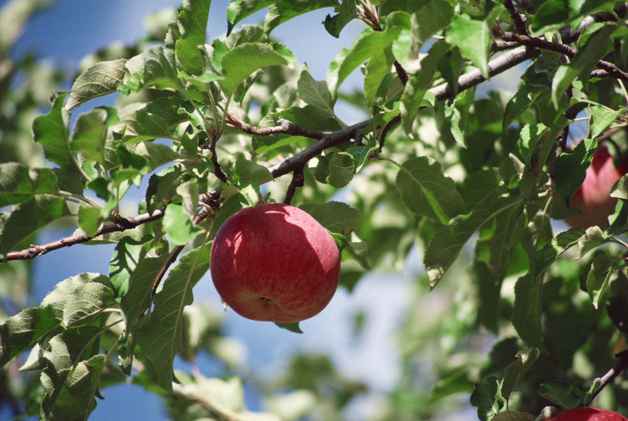 Fruit Trees Recommended For South Carolina Hunker Fruit Trees Backyard Growing Fruit Trees Apple Tree