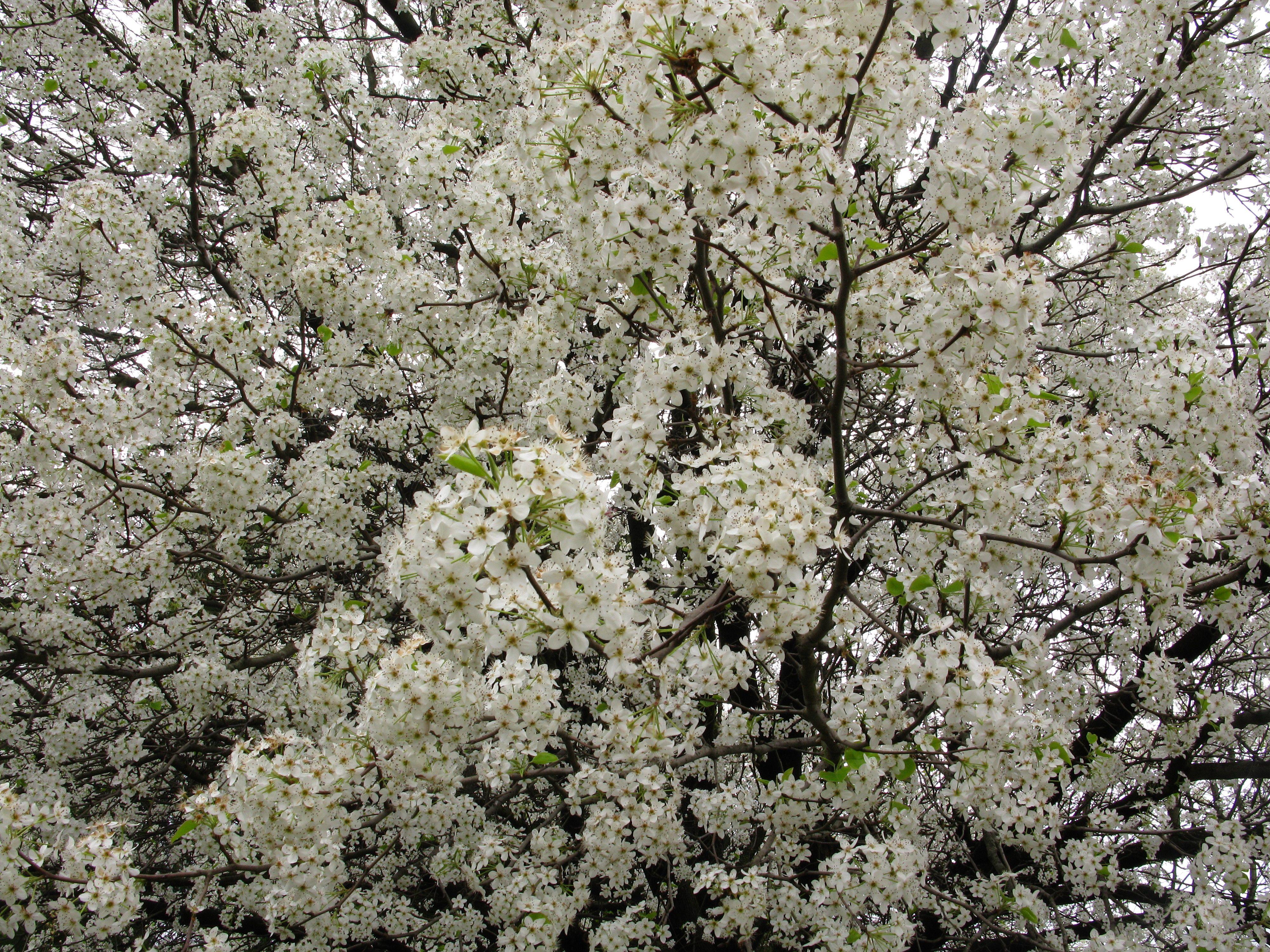 White flowering pear flowering trees pinterest flowering trees white flowering pear mightylinksfo Images