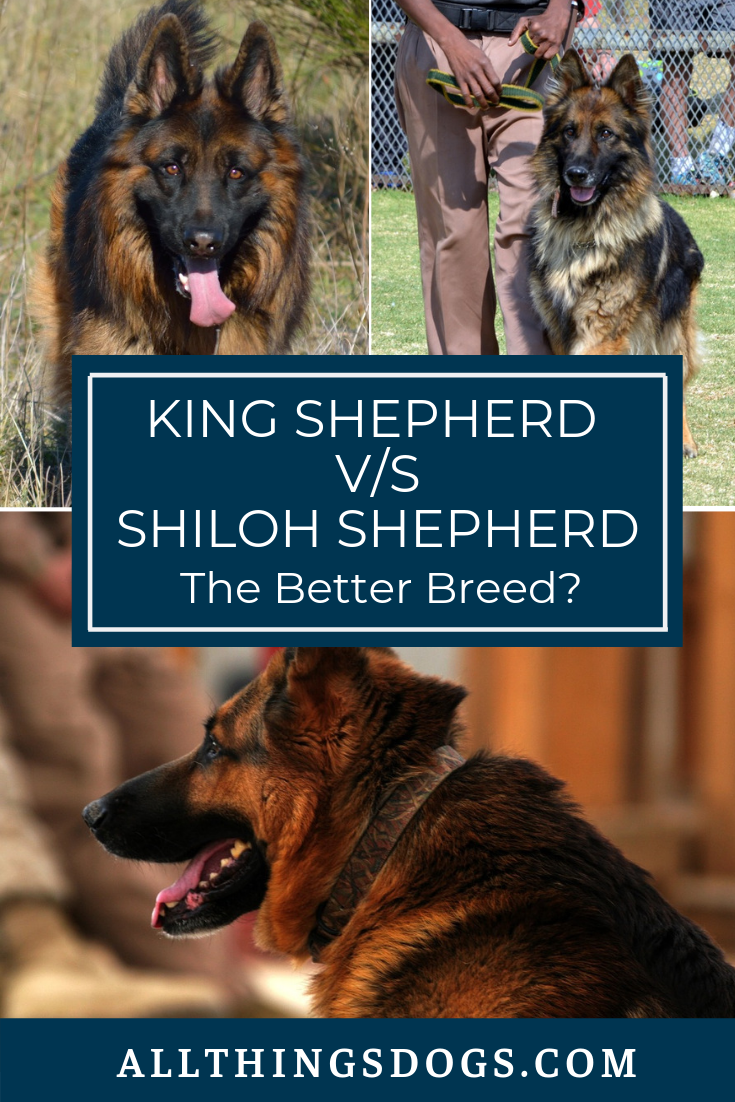 Is the King Shepherd the king of German Shepherds? It ...