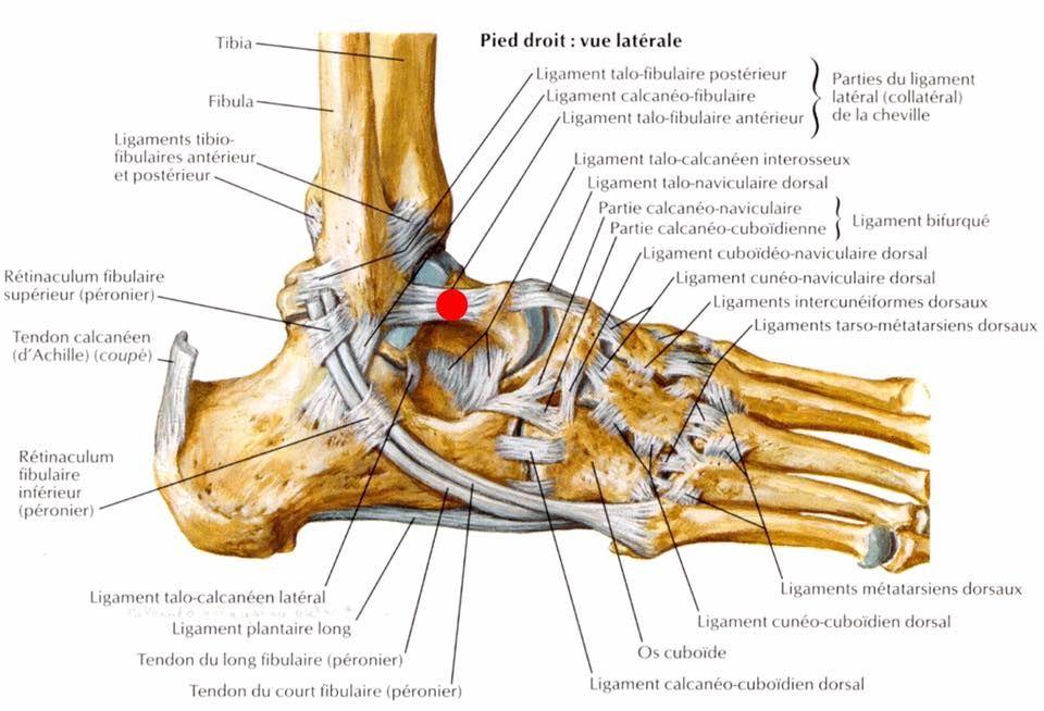 Pin by Thomas Lorblanchet on Anatomie du Mouvement | Pinterest