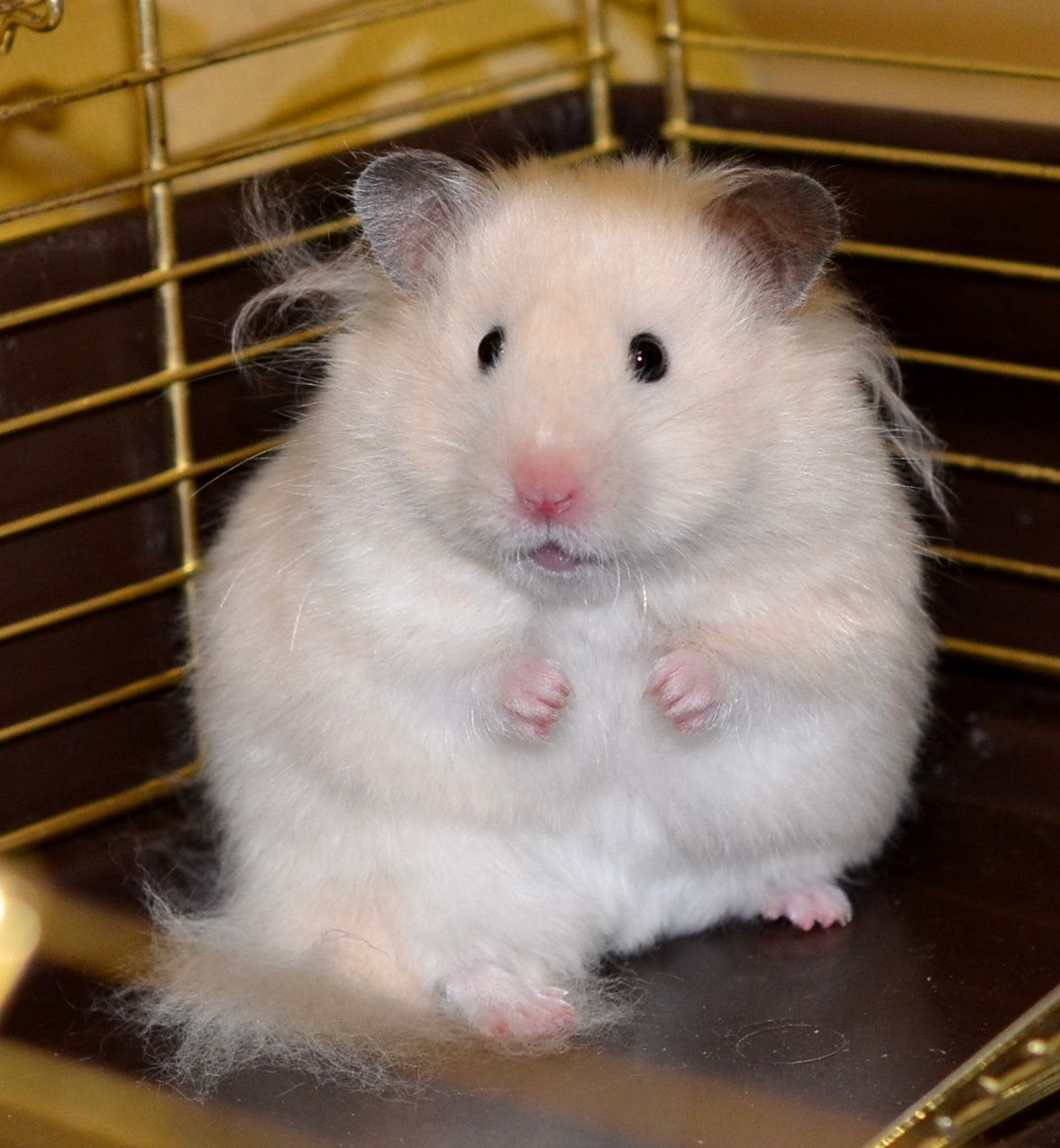 Greta Gwendolyn Long Haired Off White Female C J Johtela Funny Hamsters Syrian Hamster Cute Hamsters