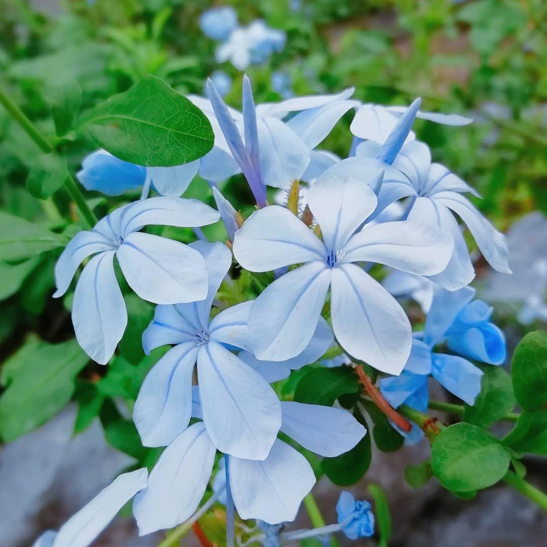 花粹����_とても暑い一日だったので涼やかなブルーの花を💙#ルリ