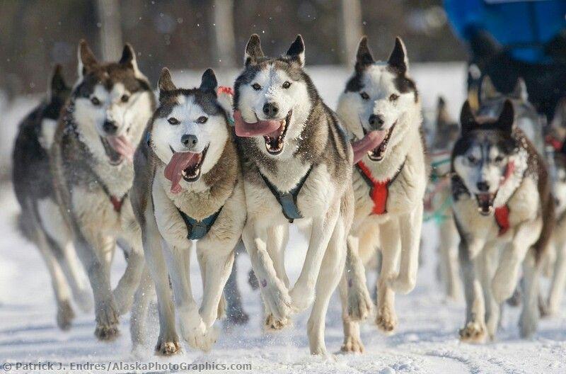 Husky Sled Team Siberian Husky Dog Sledding Siberian Husky Dog
