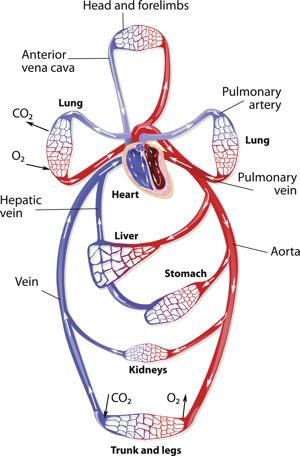 Circulatory System Organs and Their Functions | Diagramatically ...