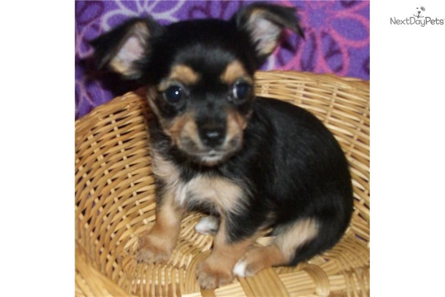 Chorkie for sale puppies yorkshire terrier puppy yorkie