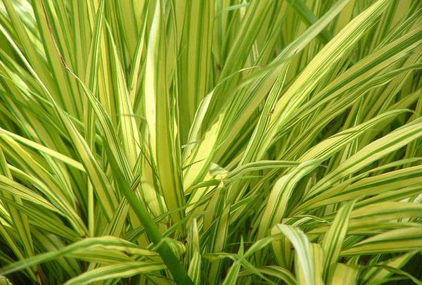 One of the most superb ornamental grasses, Hakonechloa Macra 'Aureola' (Hakone Grass) is a very beautiful golden variegated grass. Its foliage forms attractive mounds of gracefully arching, shiny leaves that ripple in the slightest breeze.