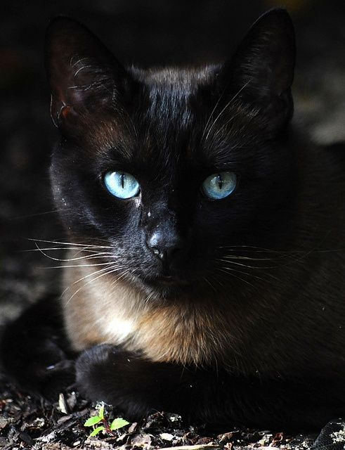 Blue Eyed Cats Just Beautiful My Favorite Cat Breed Siamese Beautiful Cats Siamese Cats Pretty Cats