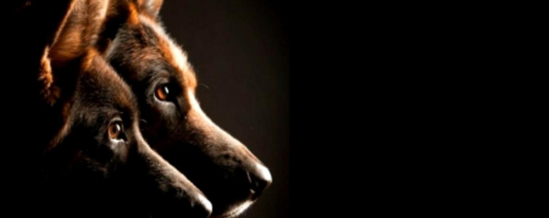 Orlando Area German Shepherd Puppies for Sale. Central Florida German  Shepherds ...