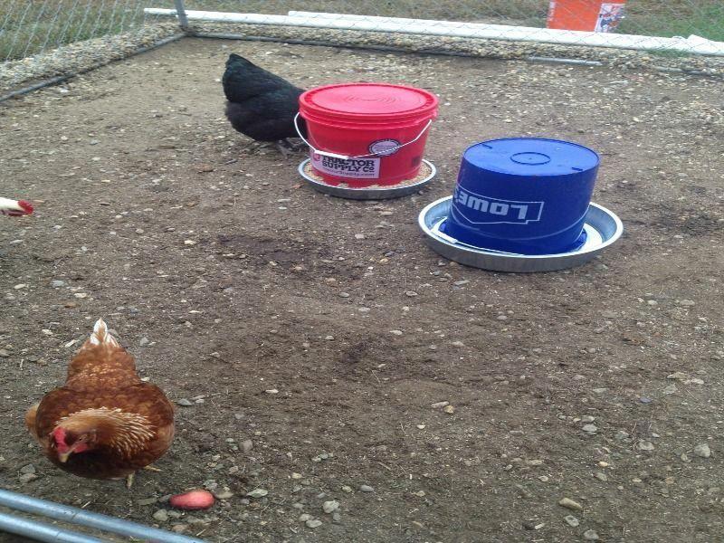 Chicken Tractor Pvc In 2020 Chicken Feeder Diy Chicken Diy Chicken Feeder