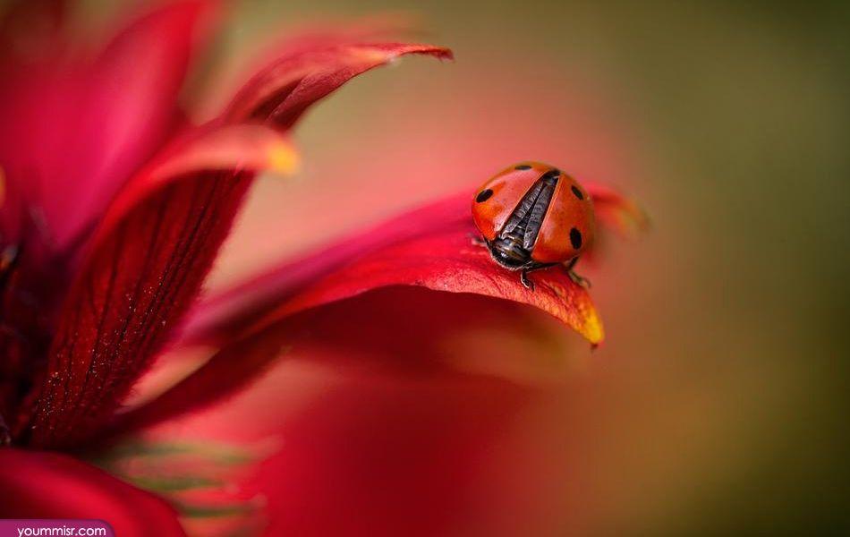 صور انواع الحشرات واسمائها مفيدة مسالمة 2015 صور انواع حشرات ضارة ومنزلية نمل خلايا نحل العسل صراصير سامة ذباب لم ترها من قب Bokeh Photography Ladybird Ladybug