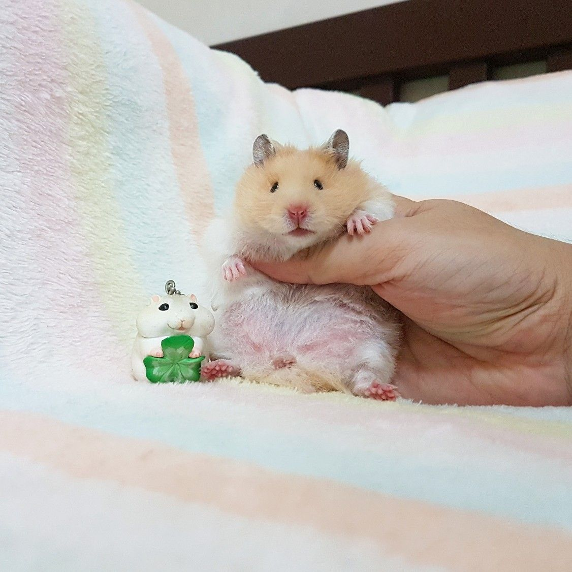 Coco Yellow Long Haired Syrian Hamster Hamster Cute Animals