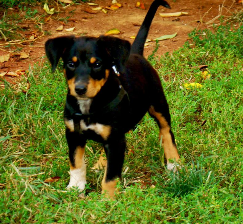 Doberman Shepherd Mix Google Search Australian Shepherd