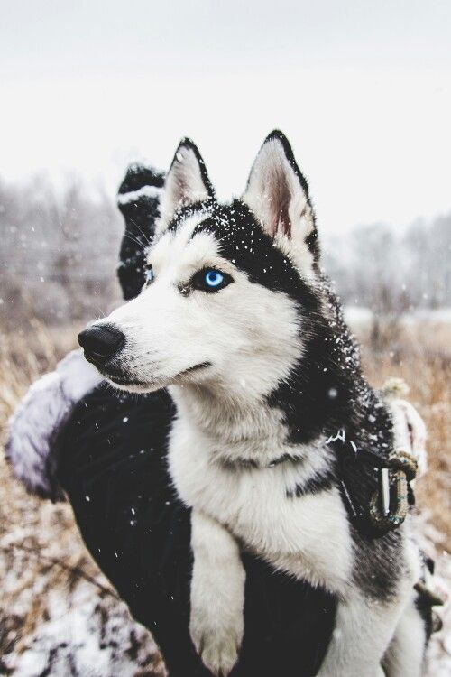 Pin By A L I C I A On P U P P Y L O V E Siberian Husky Dogs