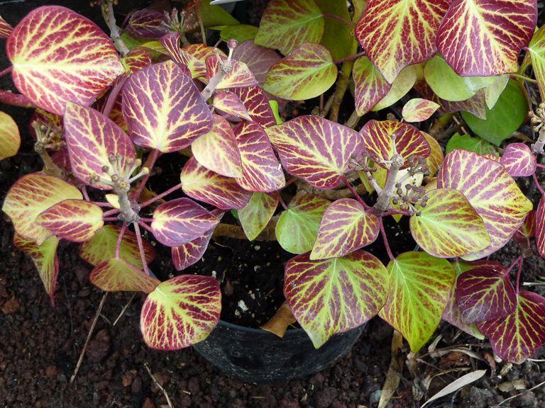 Jolies couleurs hivernales du petit lierre arbustif 'Arbori Compact'  Cette forme compacte du lierre arbustif (Hedera helix 'Arbori Compact') a pris des couleurs magnifiques pendant l'hiver. Habituellement vertes, les feuilles persistantes se sont teintées de rouge avec le froid.  http://www.pariscotejardin.fr/2013/03/jolies-couleurs-hivernales-du-petit-lierre-arbustif-arbori-compact/