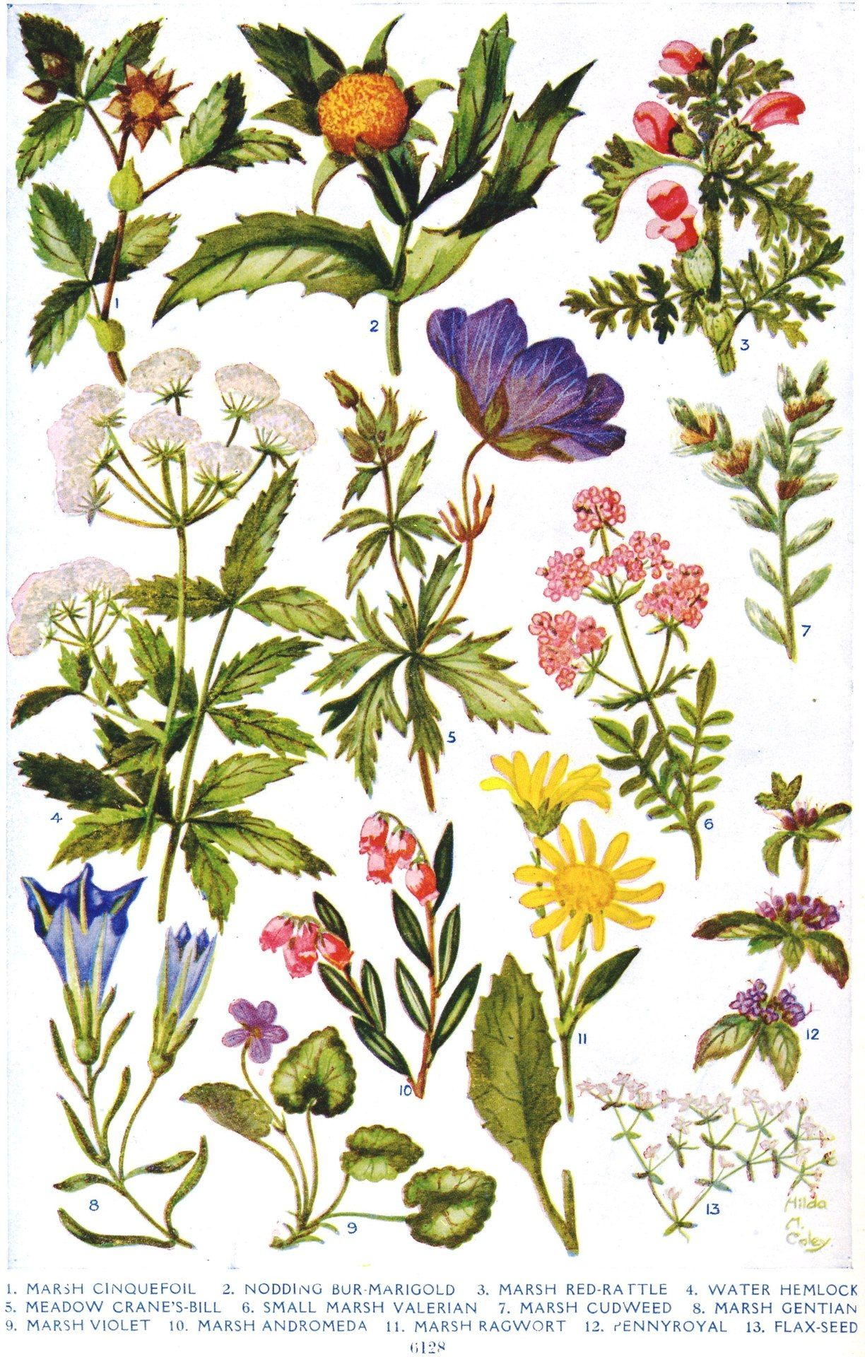 flowers of the bogland illus hilda m coley arthur mee ed the children s encyclopedia london the educational book company circa 1920  [ 1224 x 1920 Pixel ]