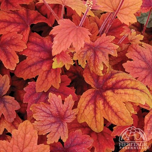 Plant Profile for Heucherella 'Sweet Tea' - Foamy Bells Perennial