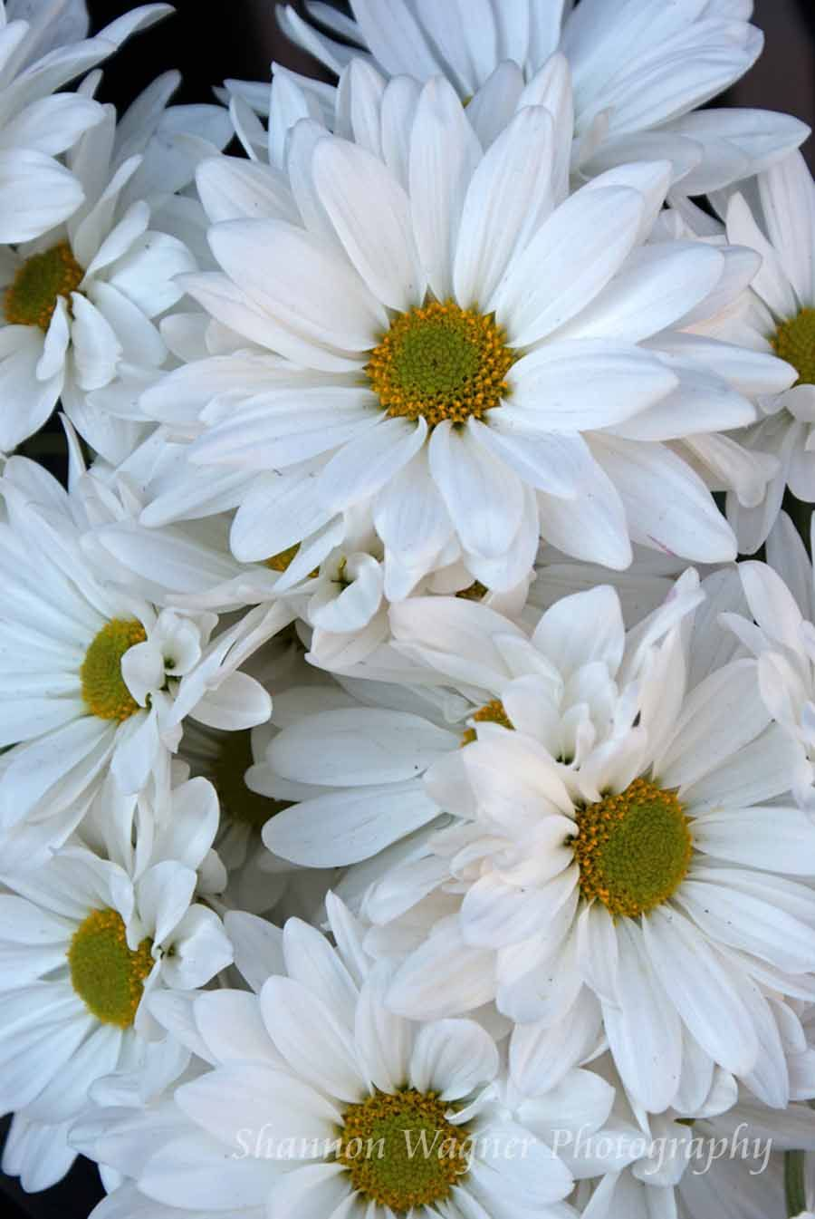 Daisies- Photograph by Shannon Wagner