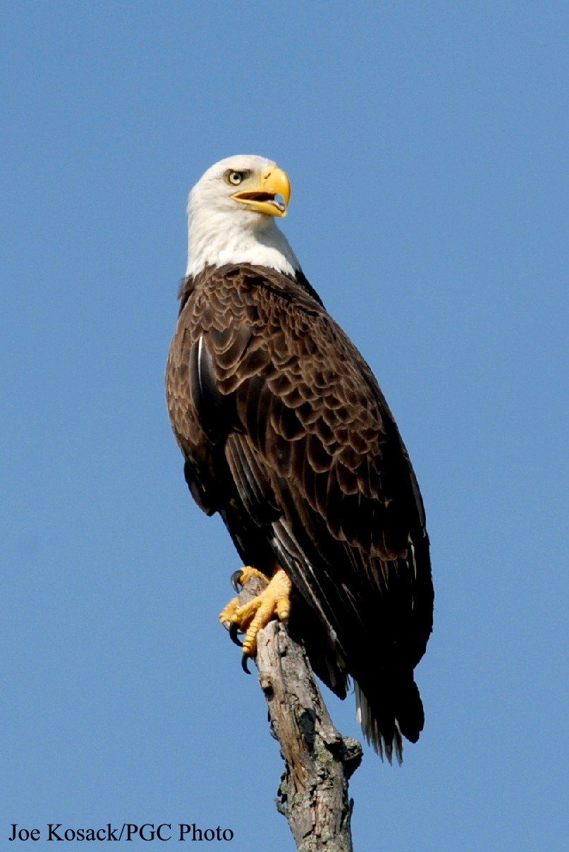 Those remember about the terrible hybrid, Eagle with a lion vdru 84