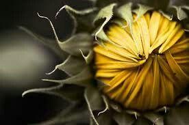 Sunflower x