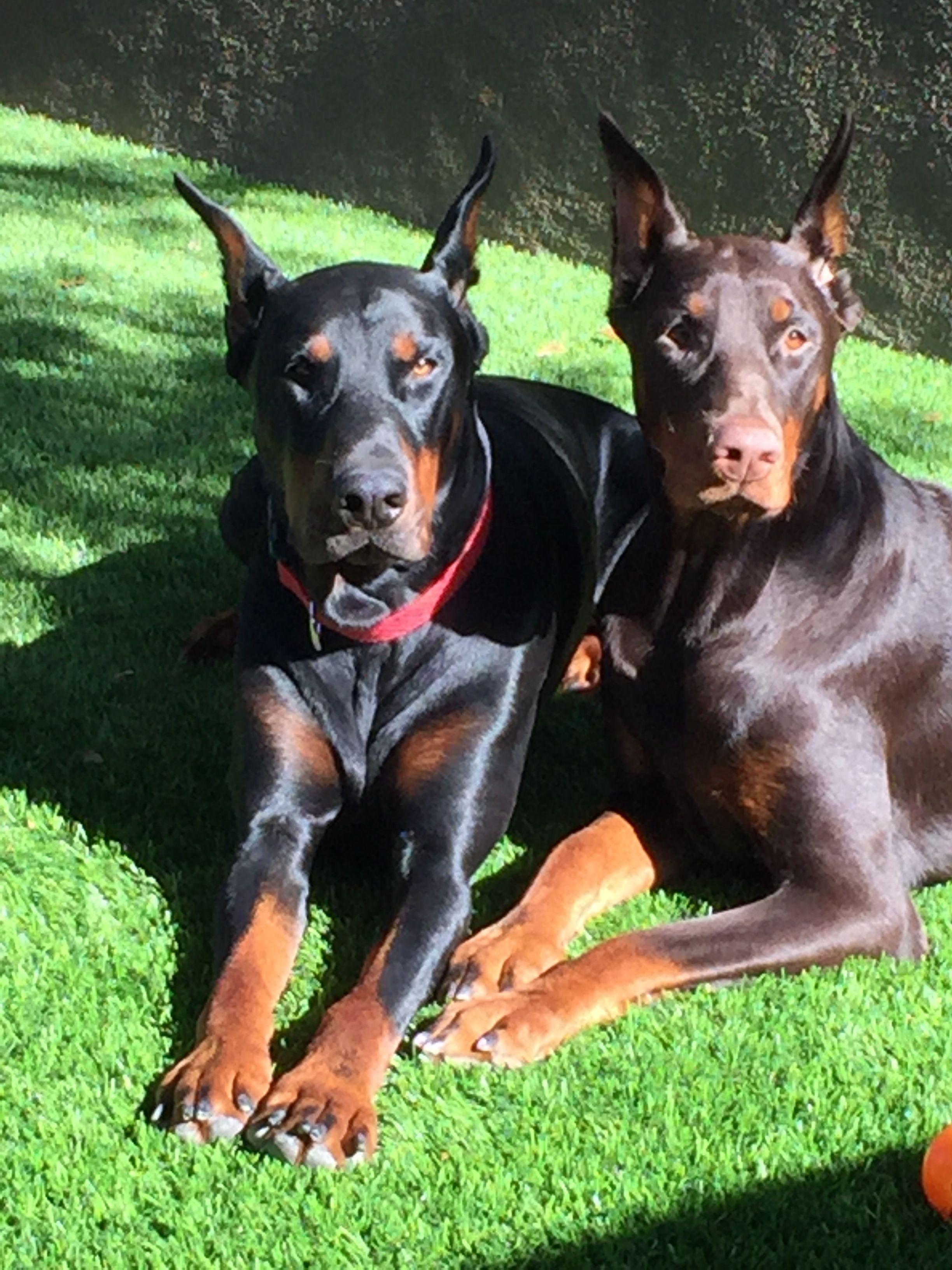 My Babies Dobermanpinscher Doberman Pinscher Dog Doberman Dogs